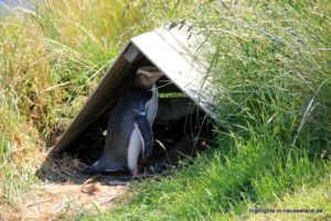 Pinguin in seinem Versteck