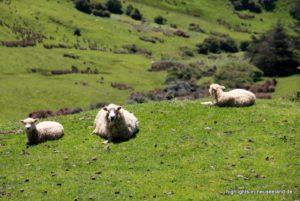 Im Grünen: Schafe auf der Wiese
