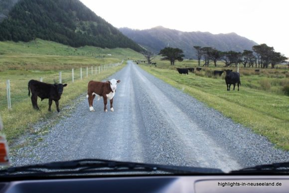 Kühe auf der Straße in Neuseeland